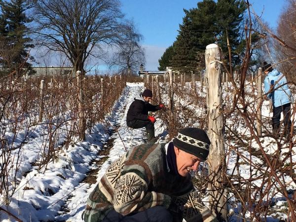 Vins du Québec | Hommes taillant des vignes en hiver dans un champ enneigé