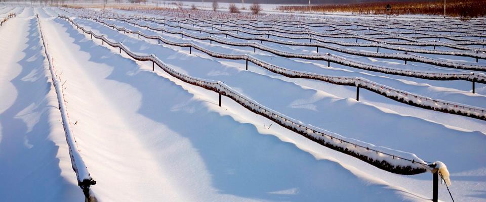 Vins du Québec | Champ de vignes recouvert de neige