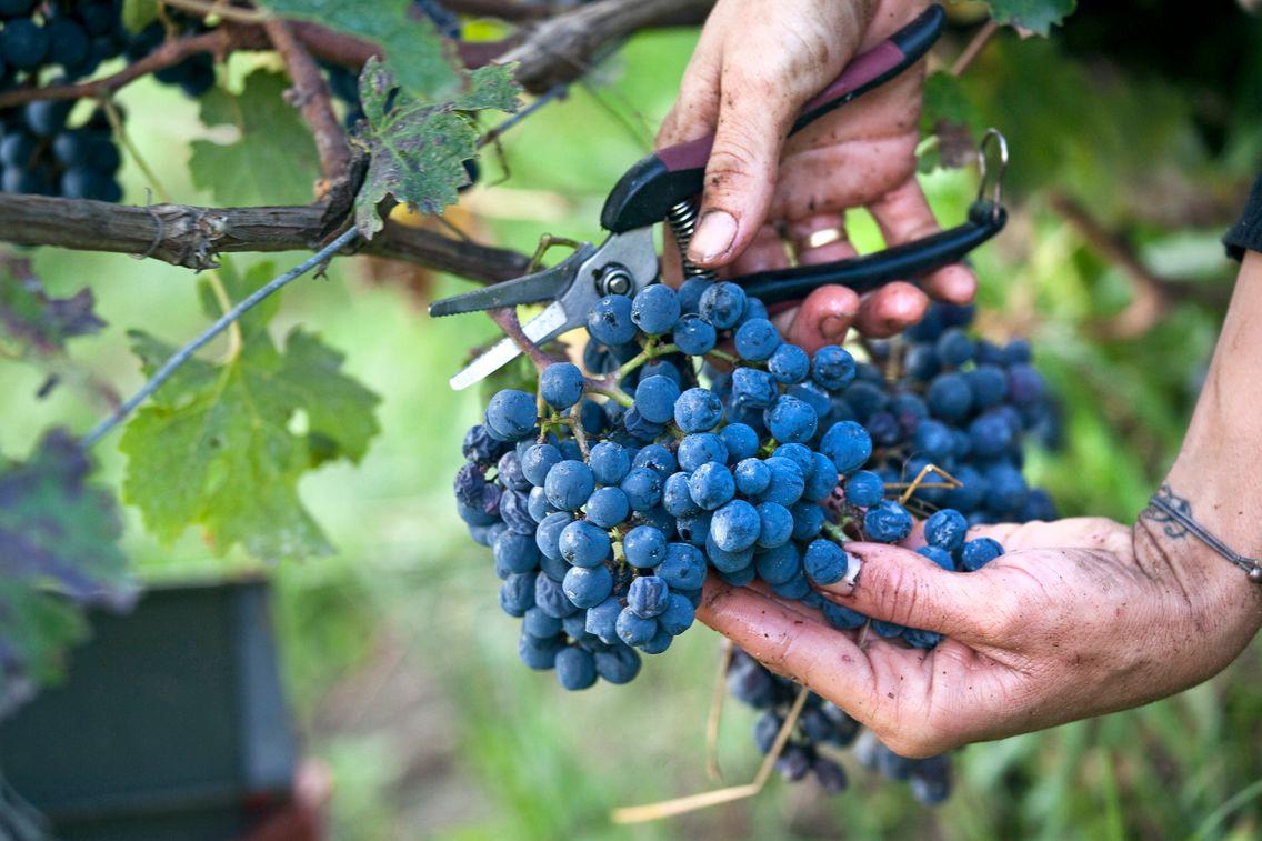Vendanges Vignobles du Québe